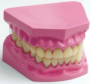 人体模型シリーズ 口腔内模型(歯)